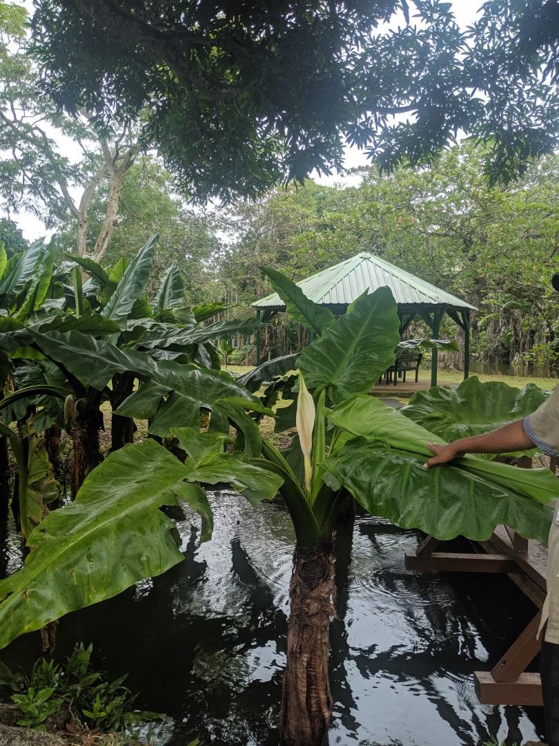 Visiter Le jardin des Pamplemousses - Ile Maurice