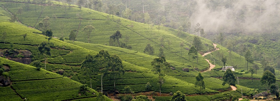 Voyage celibataire Sri Lanka plantations the